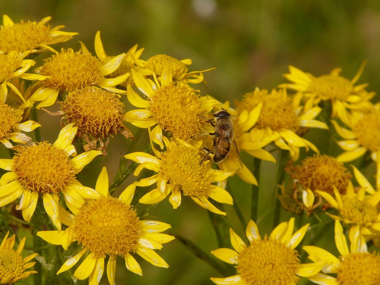 Foto Pixabay - http://pixabay.com/it/arnica-arnica-montana-8897/ api cristina caboni