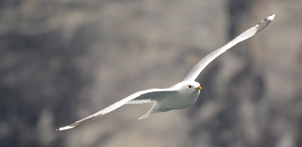 Gabbiano - (http://pixabay.com/it/gabbiano-uccelli-volare-libert%C3%A0-442591/)