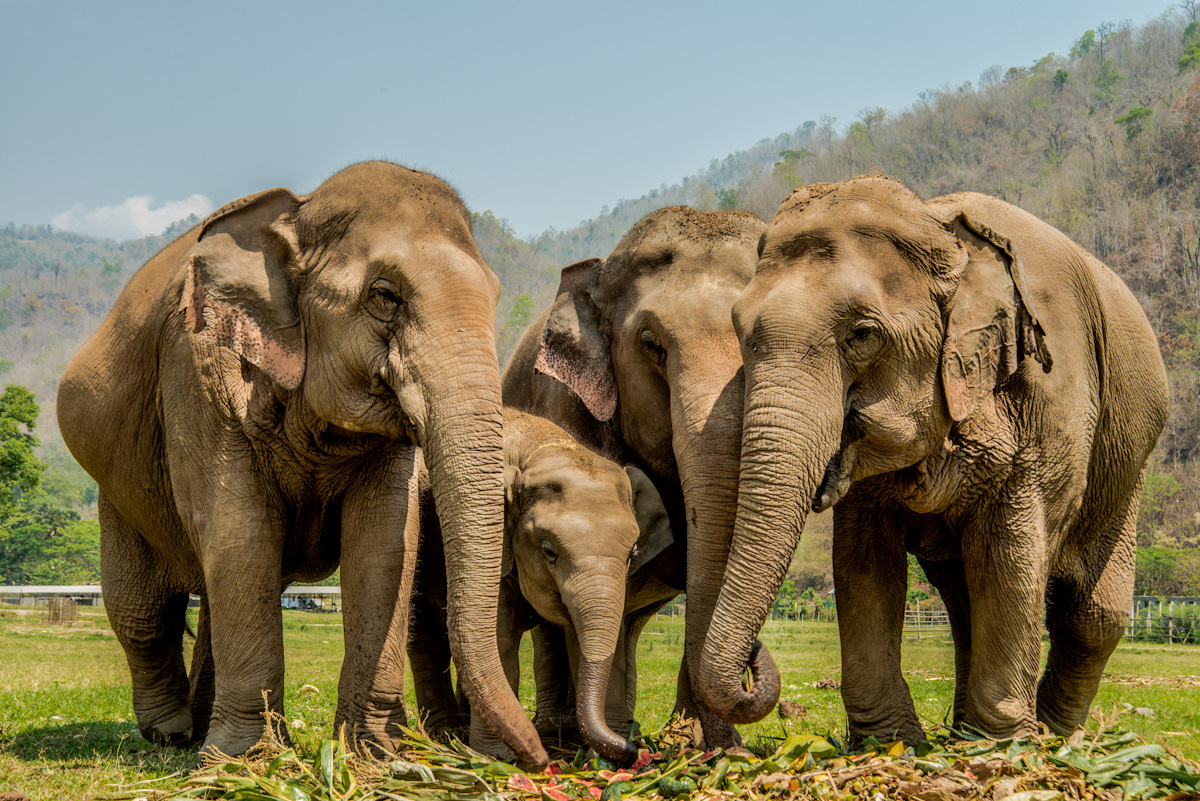 Thailandia, viaggio nel paradiso degli elefanti: qui non vengono più maltrattati