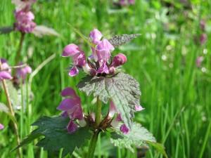 https://pixabay.com/it/ortica-morti-impianto-fiori-viola-497951/