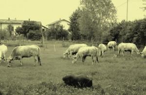 La Farm Serenity Cow a Cavour (provincia di Torino)