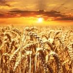 Alla scoperta dei grani antichi siciliani: Tumminia, Russello, Farro, Saragolla, Maiorca…