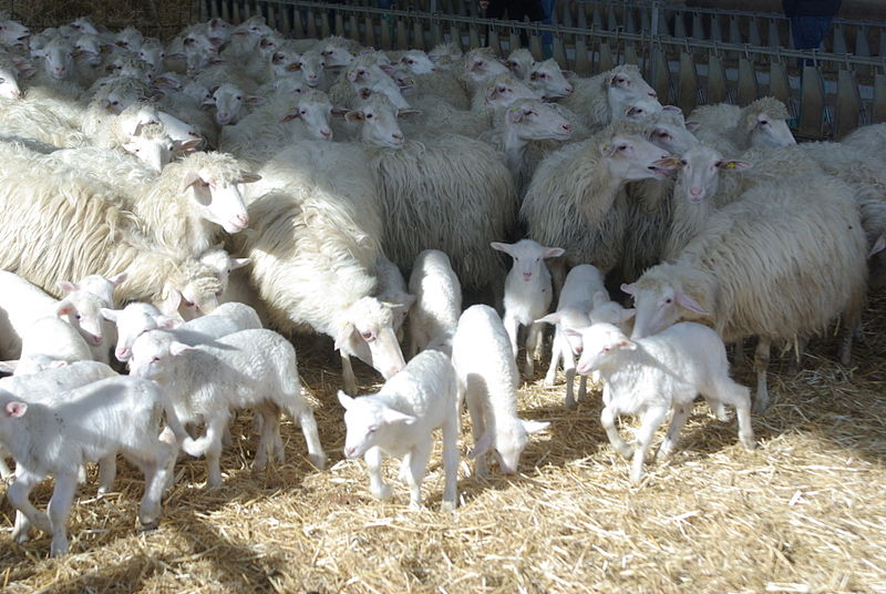 Pecore sarde - foto di Marcello Mundula - GNU