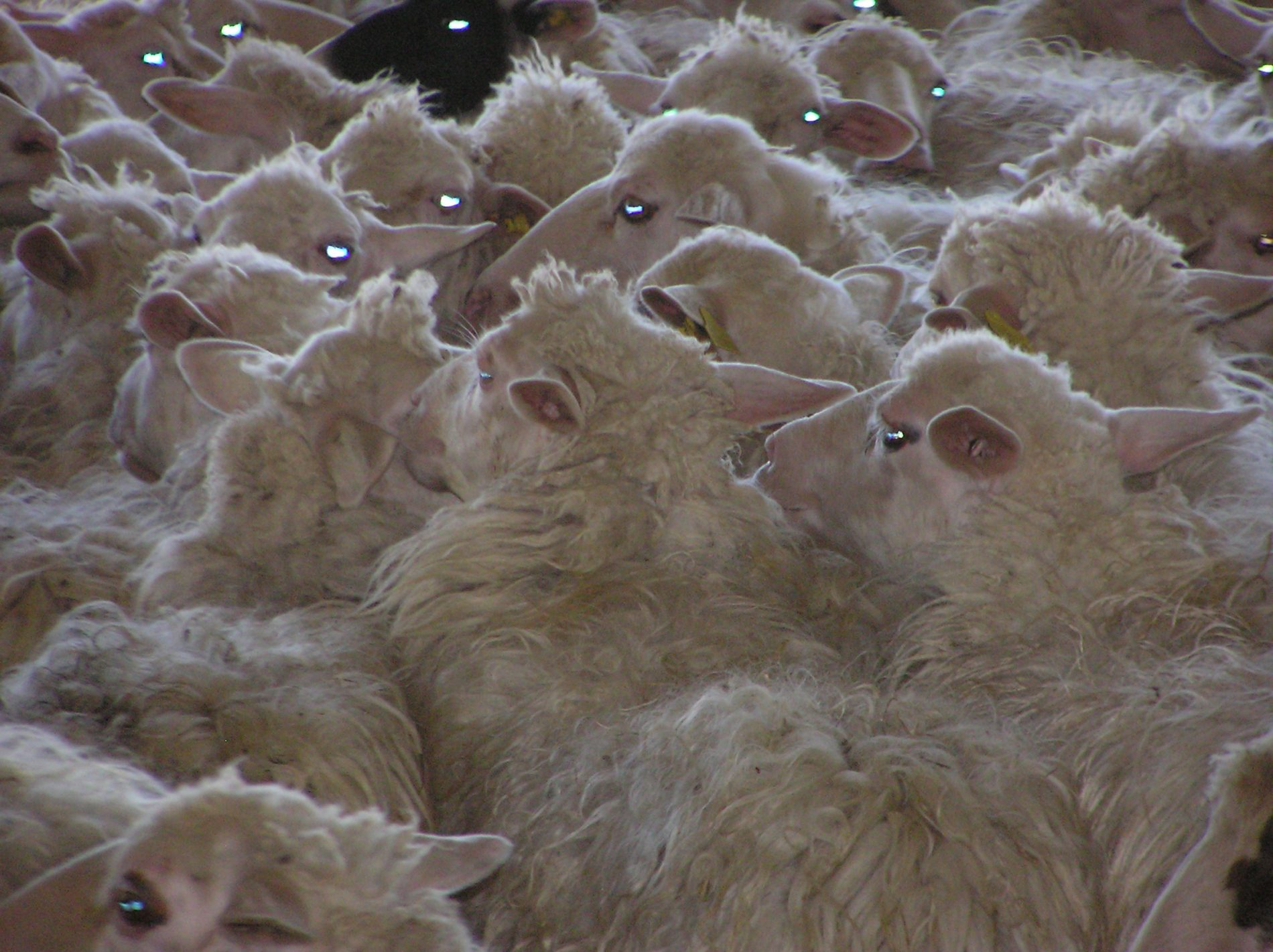 pecore - foto ML