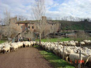 Vaccareccia con pecore