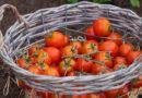 """""""Funky Tomato"""", il pomodoro solidale libero dal caporalato"""